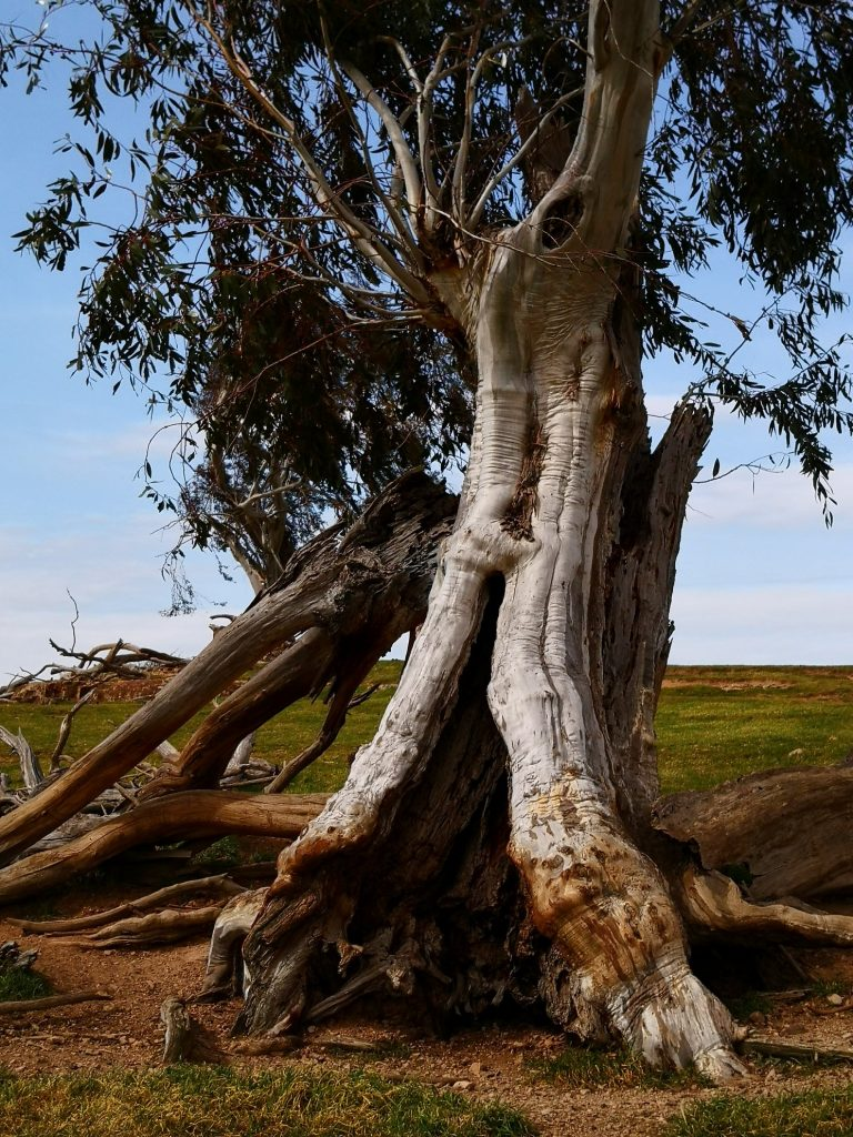 A tree on a sandstone reef on a hill at the northern entrance to Ross, Tasmania, Australia. Part of the Hearth living sculpture.